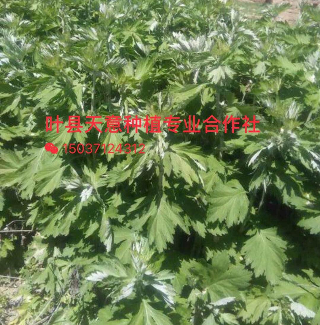 艾草的种植技术及养护方法