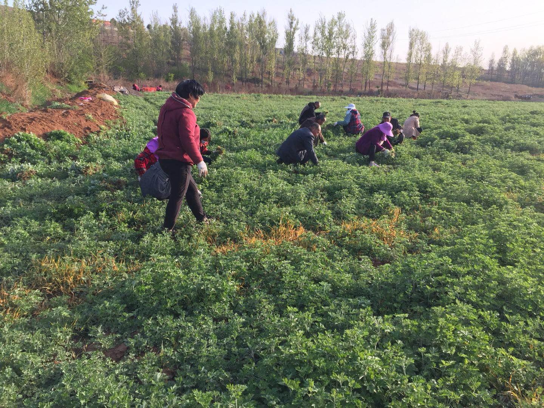 艾草种植技术艾草种植基地小艾草带动大扶贫