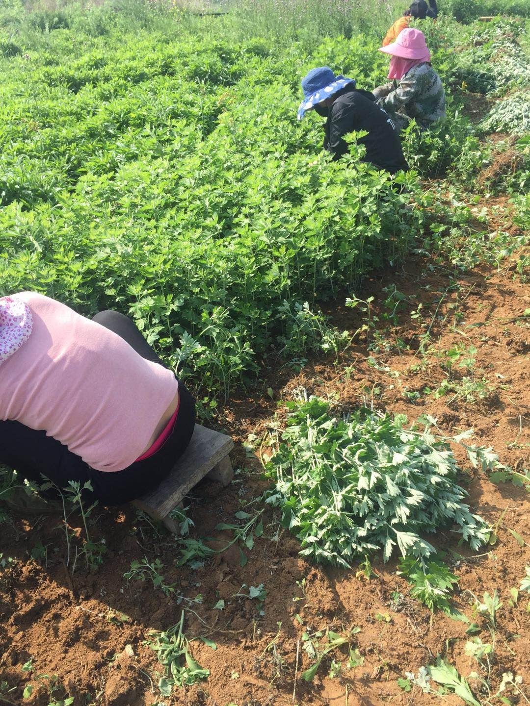 艾草种子多少钱一斤