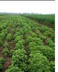 艾草种植:小小艾草扶贫路上显身手