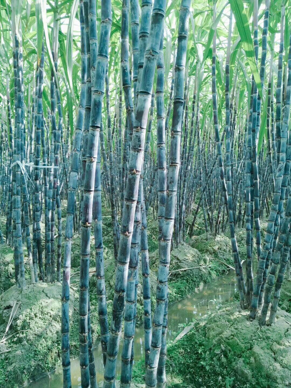 河南甘蔗种植,河南甘蔗种子亩产上万元
