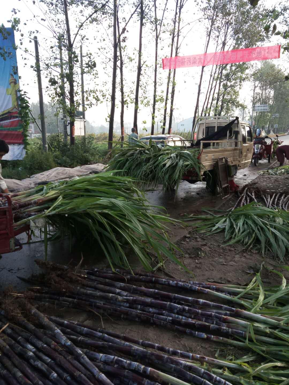 甘蔗种植技术让农户端上铁饭碗