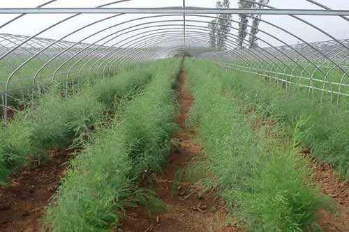 芦笋田专用除草剂苗后专用除草剂使用方法图1