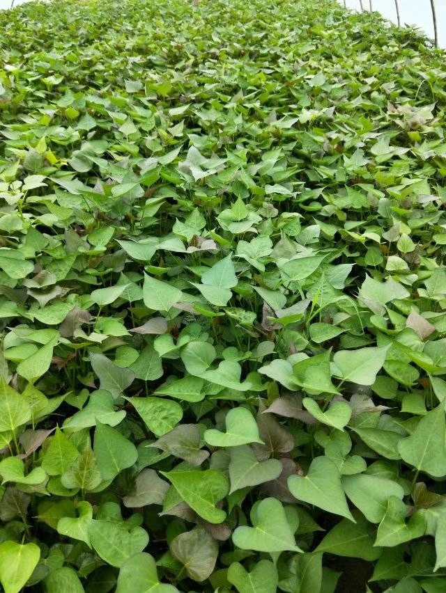 脱毒红薯苗价格脱毒红薯苗基地哪里有脱毒红薯苗