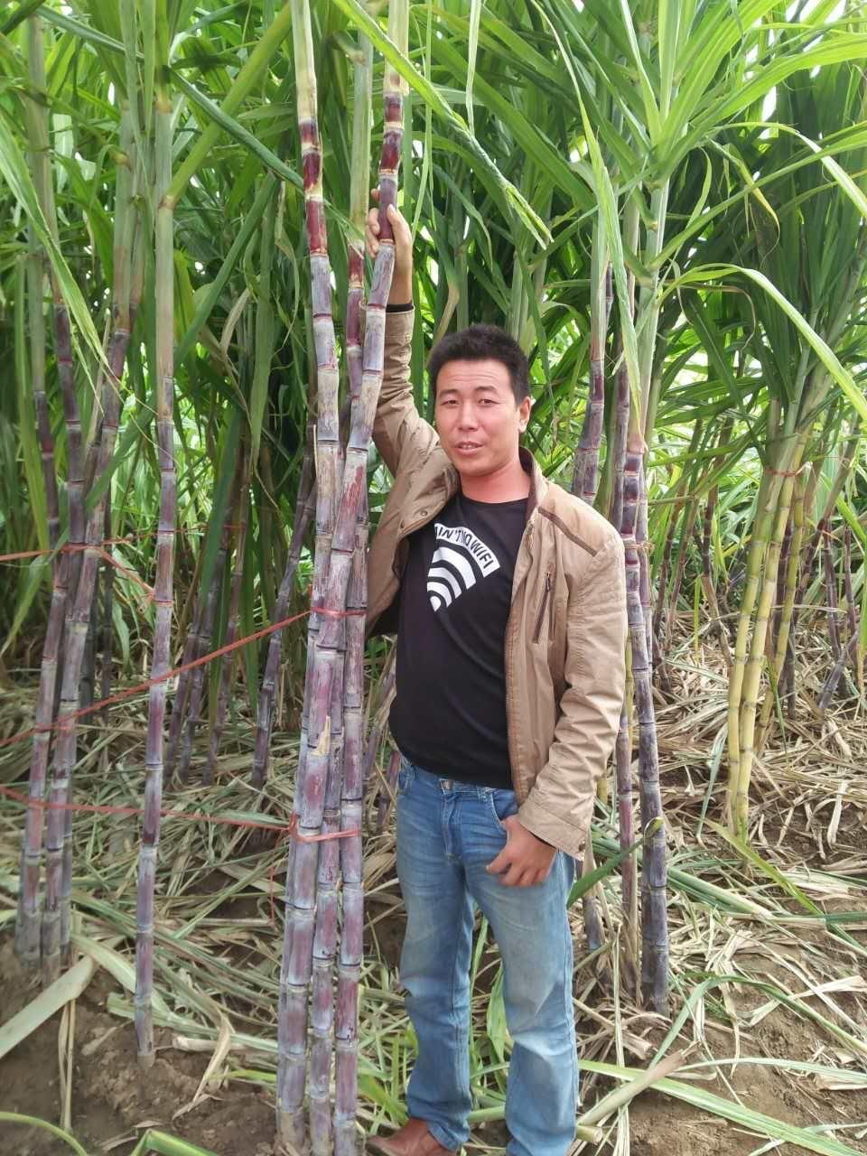 甘蔗种子种苗