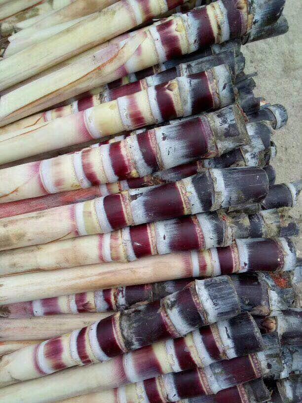 种植甘蔗一亩地成本