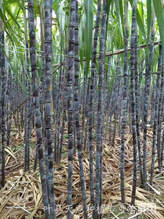 甘蔗种植:甘蔗田耕技术